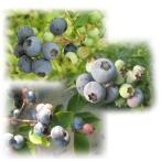 果樹の苗/ブルーベリー:サザンハイブッシュ系人気3種セット(オニール、サンシャインブルー、ミスティー)