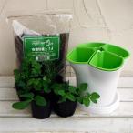 ハーブの苗/ハーブ4種のハーブポット栽培セット:イタリアンパセリ・オレガノ・チャイブス・ワイルドストロベリー