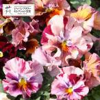 草花の苗/パンジー:ムーランフリルキャンティルージュミックス3..5号ポット2株セット