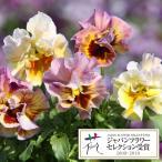 草花の苗/パンジー:ムーランフリルアプリコット3.5号ポット2株セット