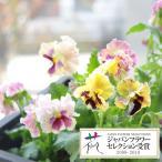 草花の苗/パンジー:ムーランフリルシフォンミックス3.5号ポット2株セット
