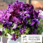 草花の苗/パンジー:ムーランフリルビオレッタミックス3.5号ポット2株セット