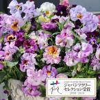 草花の苗/パンジー:ムーランフリルライトビオレッタミックス3.5号ポット2株セット