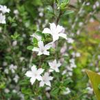 花木 庭木の苗/ハクチョウゲ(白丁花)5号ポット8株セット