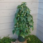 クレマチスの苗/クレマチス:ユンナンエンシス8号鉢ツリー仕立て(冬咲き常緑系)