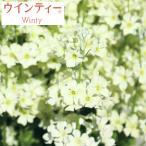 草花の苗 / サクラソウ:ウインティーライムグリーン3.5号ポット