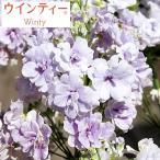 草花の苗/サクラソウ:ウインティーダブルライラック3.5号ポット