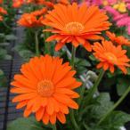 草花の苗/棚卸セール ガーデンガーベラ(ガルビネア):スイート グロウ3.5号ポット