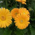 草花の苗/棚卸セール ガーデンガーベラ(ガルビネア):スイート ハニー3.5号ポット