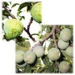 果樹の苗/スモモ(プラム)2種セット:ケルシージャパンとソルダム