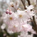 花木 庭木の苗/桜:熊谷(クマガイ)接木苗5号ポット