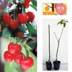 果樹の苗/サクランボ:紅秀峰(ベニシュウホウ)とナポレオン4〜5号ポット
