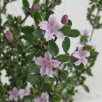 花木 庭木の苗/ハクチョウゲ(白丁花):桃花(ピンクミスティック)5号ポット5株セット