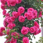 バラの苗/つるバラ:ローズうらら新苗