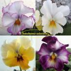 草花の苗/ビオラ:ラヴフォーユー3号ポット 2株セット