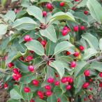 花木 庭木の苗/ソヨゴ雌雄2株セット3〜3.5号ポット
