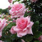 バラの苗/つるバラ:羽衣(はごろも)新苗