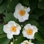 花木 庭木の苗/ナツツバキ(夏椿・シャラ):涼風3.5号ポット
