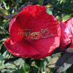草花の苗/アメリカフヨウ:チェリーブランディ3.5号ポット