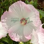 草花の苗/アメリカフヨウ:ピノットグリジオ3.5号ポット