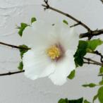 花木 庭木の苗/バイカウツギ(梅花ウツギ):ベルエトワール4号ポット