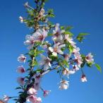 花木 庭木の苗/桜:湖上の舞樹高80〜90cm根巻きまたはポット入り