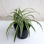 観葉植物 / オリヅルラン(外斑)3号ポット苗