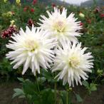 カクタス咲き 切り花向き