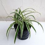 観葉植物/オリヅルラン(外斑)3号ポット苗2株セット
