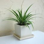 観葉植物/オリヅルラン(外斑)タリーズキューブ植え・ソーサー付き(白)