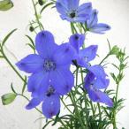 草花の苗/18年3月中旬予約 デルフィニウム:ミントブルー3.5号ポット