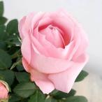 バラの苗/20年10月中下旬予約 インフィニティローズ・プリンセスオブインフィニティ4号プラ鉢入り