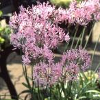 毎年花が咲く球根 ネリネ クリスパ 1球 ピンク