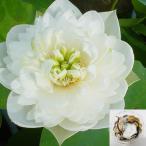 草花の苗/19年3月中旬予約 花はす:レンコン丸:雪の精