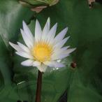 草花の苗 熱帯スイレン ミニミニドウベンフラッペカップ入り