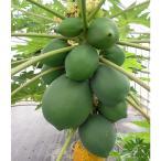 果樹の苗/18年5月中旬予約 パパイヤ:ウルトラ種なしフルーツパパイヤ3.5号ポット