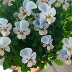 草花の苗 ビオラ ステラブルー3 3.5号ポット