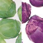 野菜の苗/20年8月下旬予約 芽キャベツ:グリーンスターとパープルクイーン3号ポット2種セット