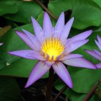 草花の苗 熱帯スイレン ミニミニミロク2.5号ポットフラッペカップ入り