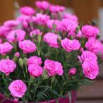 草花の苗/18年3月中旬予約 なでしこ:スイートティアラ3号ポット