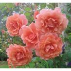 バラの苗/19年5月中旬予約 つるバラ:サンセット・グロウ新苗ポット植え