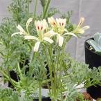 観葉植物/20年3月中下旬予約 ペラルゴニウム:アッペンディクラツム4号ポット