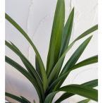 ハーブの苗/20年5月中下旬予約 アジアンハーブ:バイトゥーイ4号鉢植え