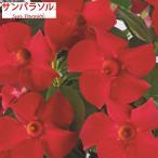 まとまり良く、早く咲く! サントリーの花の苗