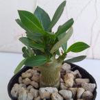 観葉植物/20年3月中下旬予約 アデニウム・ソコトラナム3号ポット