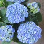 花木 庭木の苗/20年2月中下旬予約 アジサイ:西安(シーアン)ブルー3.5号ポット
