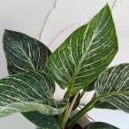 観葉植物/21年3月中下旬予約 フィロデンドロン:バーキン3号ポット