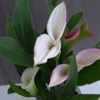 草花の苗/20年10月中下旬予約 カラー:ホワイト3.5号白鉢指定