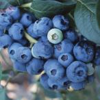 果樹の苗/18年9月中旬予約 ブルーベリー:おおつぶ星3号ポット