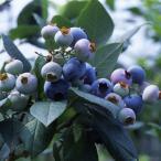 果樹の苗/18年9月中旬予約 ブルーベリー:あまつぶ星3号ポット